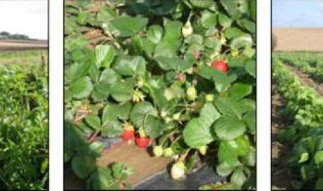 Cueillette de fraises de saison à Toulouse et ses alentours